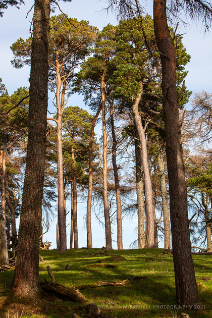 Scots Pines on Chester Hill_2735_local copy