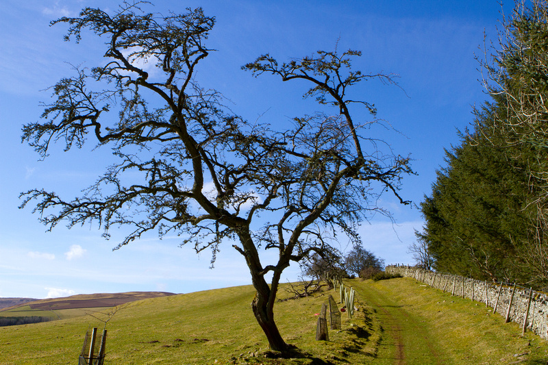 Hawthorn Tree-0586