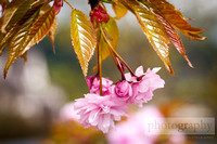 Wallpaper_Weeping Cherry Blossom_0479