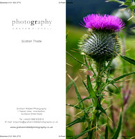 Scottish Thistle-proof