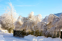 Frozen Weeping Birches_7786