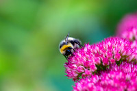 Bee at Work_7068