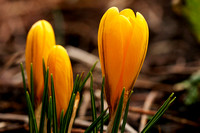 Crocusses Rising_7878