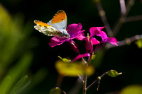 Orange Tip Butterfly_0769