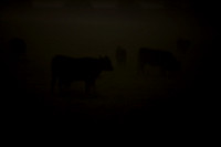 Cows in the Mist_0042