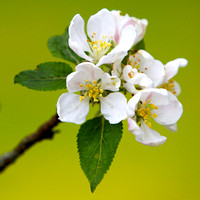 Apple Blossom_1262