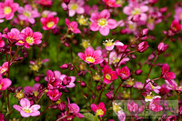 Wallpaper_pinkflowers_0477