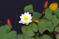 Lilies in the Pond_9477