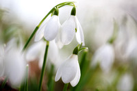 Snowdrops Three_0039