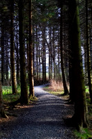 Path through Pines_154604